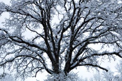 Chêne sous la neige du 6 février 2018