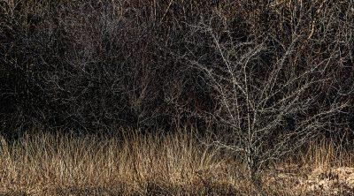 Aubépine en hiver sur le circuit du lac de Vesoles