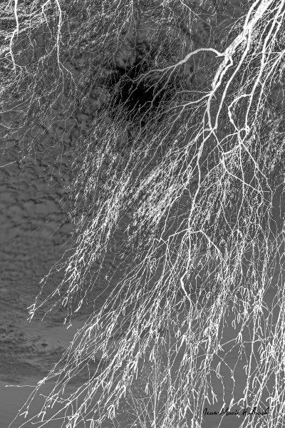 Finesse de branches de bouleau