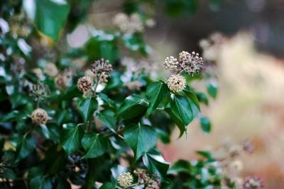 Lierre en fleurs