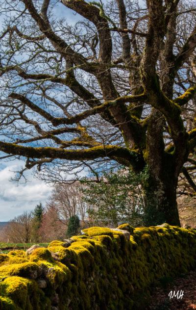Le chêne et le muret au premier jour d'un printemps