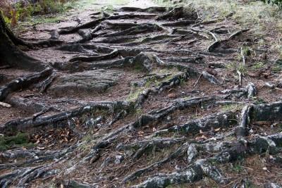 Autour du lac de Vesoles. Racines de pins sylvestre et d'épicéas mêlées