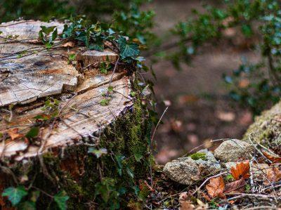 Souche de chêne colonisée par du lierre
