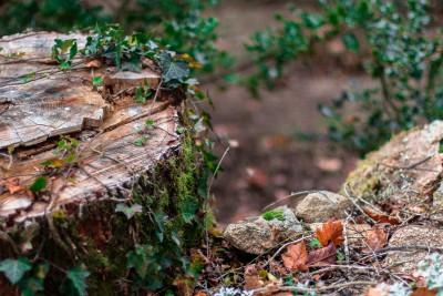 Souche de chêne