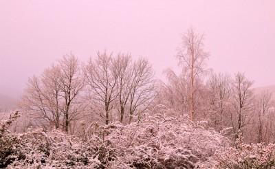 Brume rose hivernale au jardin