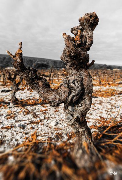 Ceps de vigne après la taille 1