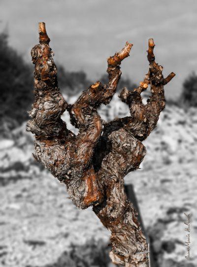 Ceps de vigne après la taille 2