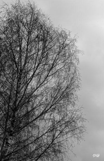 Bouleau du jardin, décembre 2017