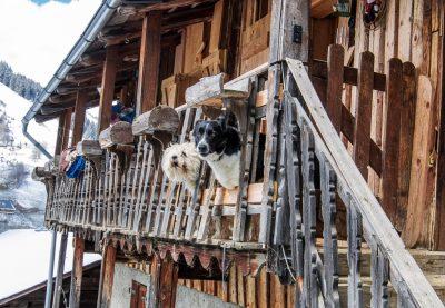 Les chiens du Beaufortain