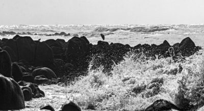 Bretagne. Baie d'Audierne. Echassier à marée montante