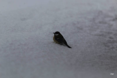 Mésange charbonnière dans la neige