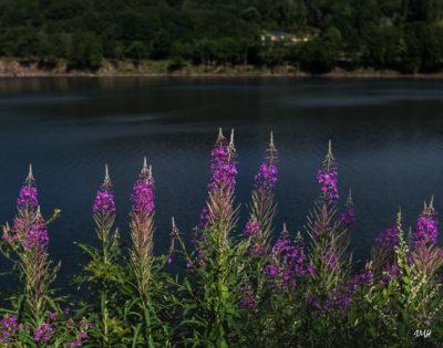 Lac du Laouzas. Epilobes