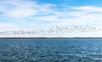 Arcachon, balade sur le bassin. Envol de canards