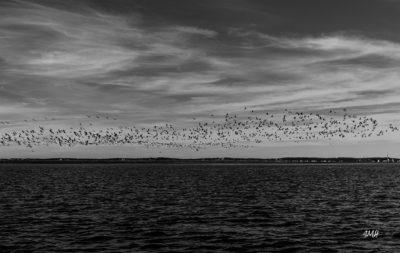 Arcachon, balade sur le bassin. Envol de canards N&B