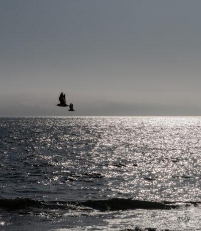 Bretagne en baie d'Audierne. Goélands au crépuscule (1)