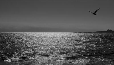 Bretagne en baie d'Audierne. Goéland au crépuscule (2)