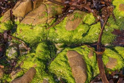 Bretagne en baie d'Audierne. Algues à marée basse (3)