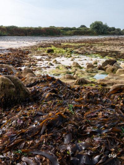 Bretagne en baie d'Audierne. Algues à marée basse (1)